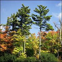 eastern-whitepine-tree