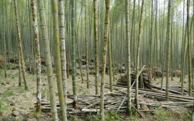 Bamboo versus Hardwood